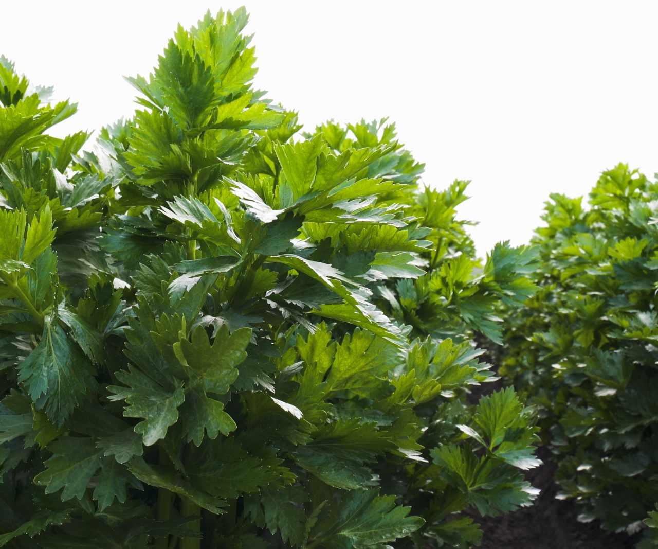 Somos una empresa ecuatoriana de hortalizas Ecuahort